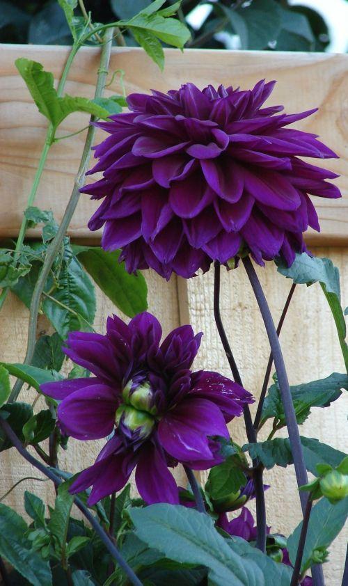 Purple Dahlia: