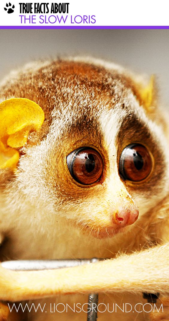Slow loris, Facts about and Animals on Pinterest