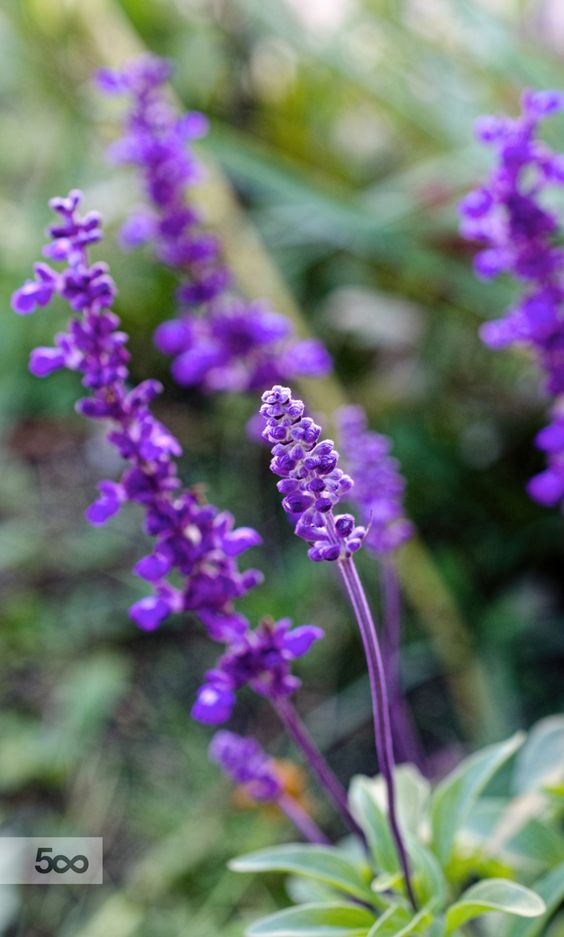"me-lapislazuli: "" Purple | by MaryGreenKerr | http://ift.tt/1k0PvLk """