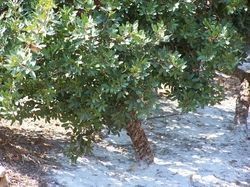 """Pistacia lentiscus Chios - """"wie wil krijgen een nieuwe naam onderzoekt zijn faam en went daar eerst eens aan"""" - dit heet een mastiekboom die voorkomt o.a. op het eiland Chios - niet gek als eerste stap/zap"""