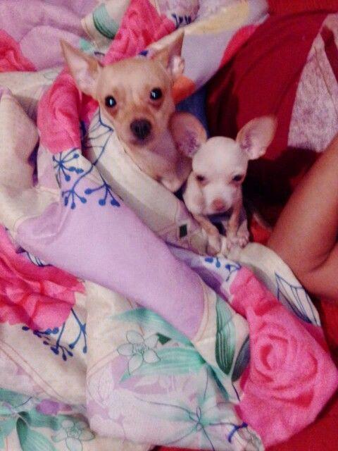 Perros Chihuahua. Orgullosamente raza mexicana.
