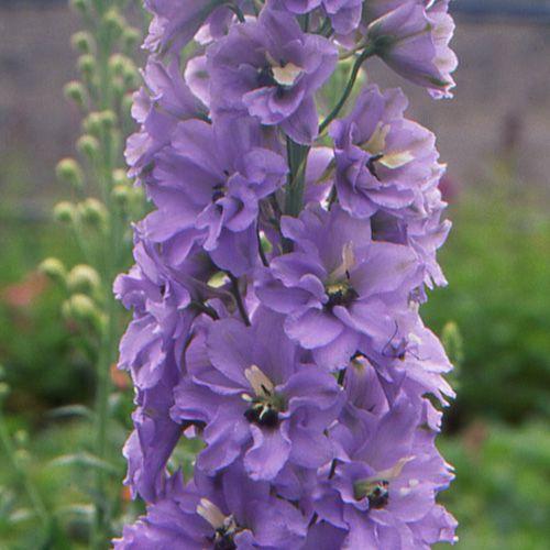 DELPHINIUM 'Camelliard'  (Pied d'alouette vivace) : Hampes vigoureuses, portant d'énormes épis non ramifiés. Ceux à grandes fleurs obtenues par graines, présentent quelques variations de couleur. Le bouquet d'étamines noires ou blanches dessine une tâche appelée mouche, au centre des fleurs. De taille moyenne, leur port est buissonnant, les tiges ramifiées. Ils fleurissent longtemps et abondamment. Tons lavande, mouche blanche.