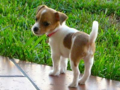 Adorable Jack Russell/Chihuahua puppy.