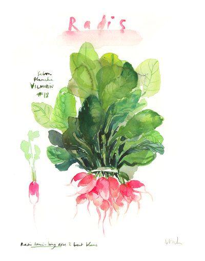 Pink radish print, Watercolor vegetable print, Kitchen art, Food print, 8X10 art…