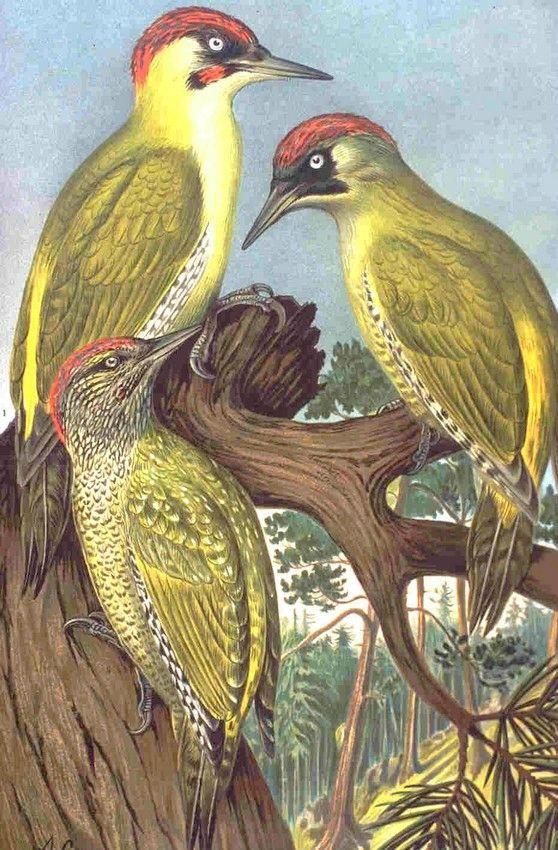 Le Pivert, un oiseau prophétique annonciateur de la pluie | Pic de la pluie, Plui-plui, Pleu-Pleu, Becquebo, Bequebois, Pic de Mars… zimzimcarillon.canalblog.com | ''Picus viridis'' (Green Woodpecker) from: NAUMANN, NATURGESCHICHTE DER VÖGEL MITTELEUROPAS: Band IV, Tafel 29 - Gera, 1901.