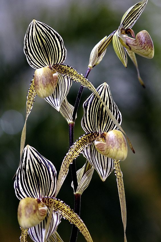 Paphiopedilum Or (Slipper Orchid) by Feathers and Flowers, $80: