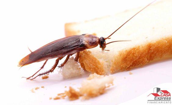 Si tienes cucarachas en casa una manera de eliminarlas es limpiando muebles y pisos con sumo de pepino, el aroma las ahuyentará.