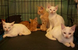 Bennie is an adoptable Turkish Angora Cat in Cranford, NJ.  Update: Burt was adopted with his brother Brent and Brad!!  Bennie and Belinda still looking for homes!  We are very sweet and playful. Ever...