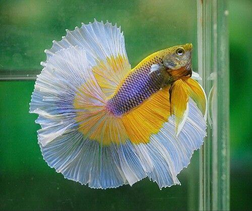 Yellow butterfly male betta fish pinterest for Butterfly betta fish