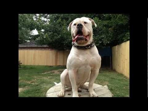 American Bulldogs Detroit Michigan 30 Inch Head Youtube