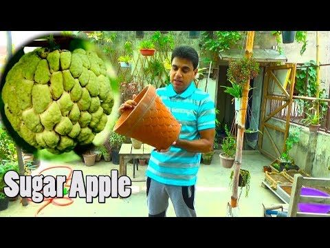 How To Grow Sugar Apple In Container Sharifa Plant Fruit Plants Urdu Hindi Youtube Apple Plant Sugar Apples Fruit Plants