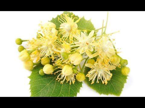 Kwiat Lipy Wlasciwosci Lecznicze I Przepis Na Syrop Youtube Plants