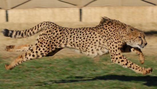 Animal em Destaque - Chita
