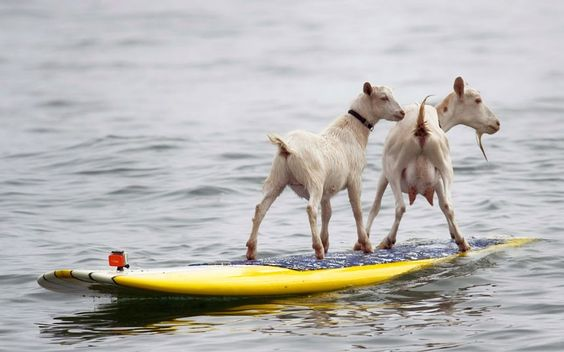 Dana McGregor's pet goats Pismo and Goatee surf at San Onofre State Beach in California. McGregor started taking Pismo's mother Goatee to the beach, and it wasn't long before she was on a surfboard. When Pismo was born, McGregor put her on a board too, and she was a natural, he says.