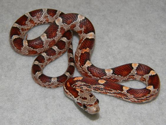Pet ball python not good for heart transplant patient?