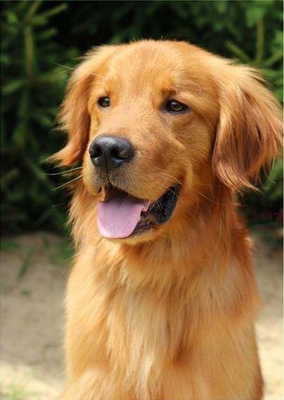 Pin Von Katharina Braun Auf Golden Retriever Tiere Hund