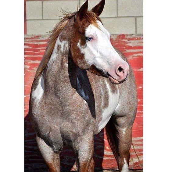 Bom final de semana amantes da raça paint horse!! #farm #horse #cavalo #abcpaint #paint by abcpaint