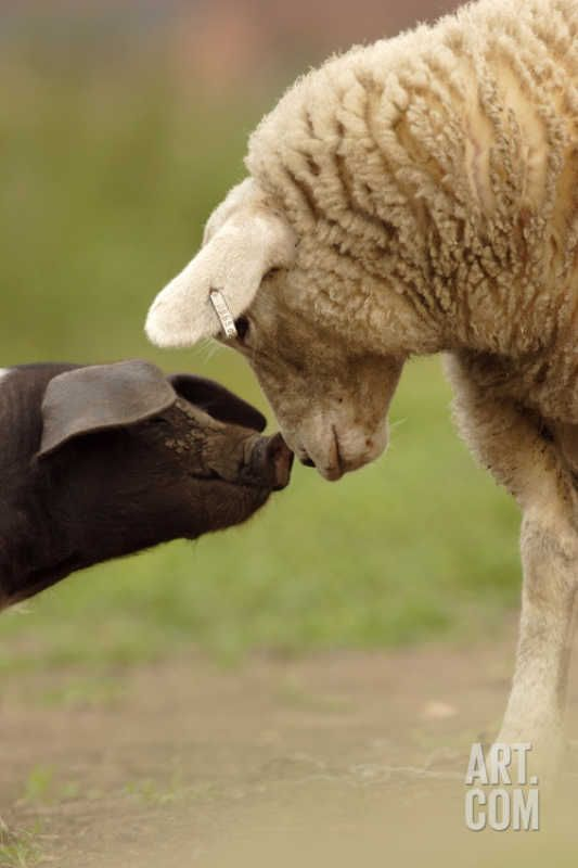 Domestic Pig, British Saddleback piglet, with lamb, sniffing each other