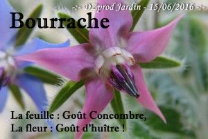 Bourrache - DZprod Jardin - 15 juin 2016