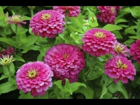 How To Make Zinnia Plant Bushy Boost Flowering Caring Tips Urdu Hindi Youtube Zinnia Flowers Annual Flowers Flowers