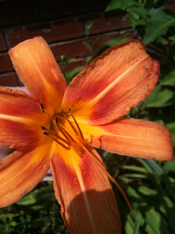 can't beat day lillies for non-stop summer color (2012)