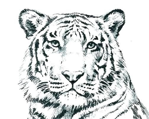 Wild Cat Coloring Pages G4674 Realistic Cat Coloring Pages Color