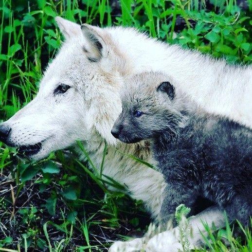 Mein Kleines Baby Animals Baby Wolves Mammals