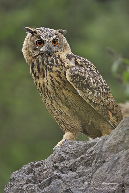 Eagle Owl, by Udo Schlottmann