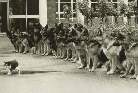 Кот и тренированные немецкие овчарки - финальный экзамен для служебных собак полиции. ФРГ, 1987 год. Теперь для людей это называют Mindfulness))