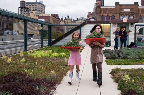 A rooftop garden? Students collect herbs on PS 41′s greenroof in Manhattan. Photo: Megan Westervelt
