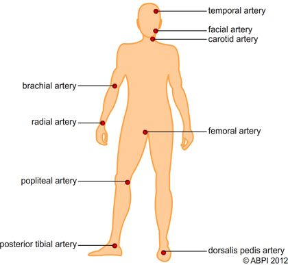 pulse locations on the body diagram of pulse points on the body  : pulse points diagram - findchart.co