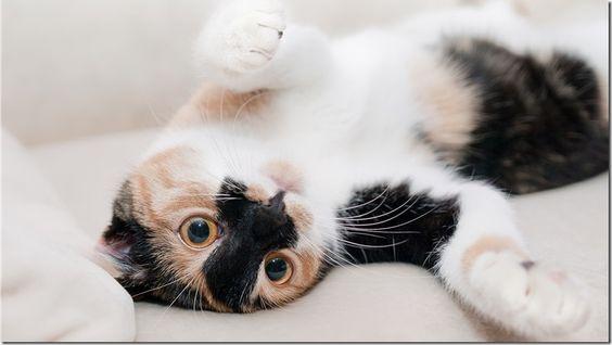 Beneficios del ronroneo de los gatos para nuestra salud - http://www.lea-noticias.com/2016/09/04/beneficios-ronroneo-gatos-salud/