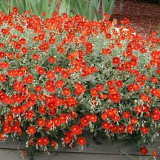 helianthemum henfield brilliant care - Google Search
