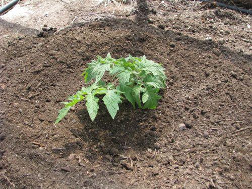 Wie Tomaten gepflanzt werden sollen (Text in Englisch)