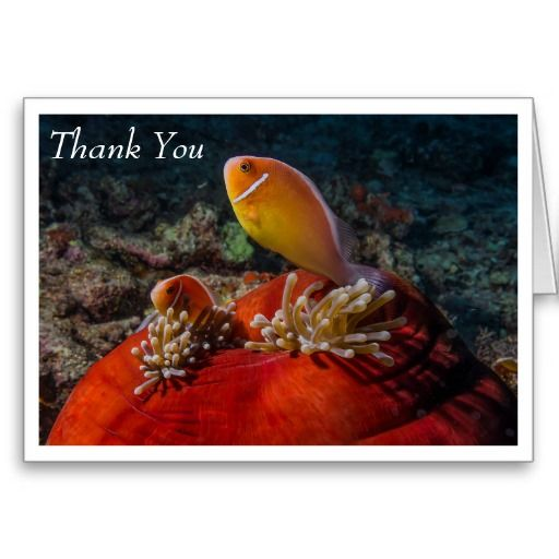 This greeting card features a pair of Pink Skunk Clownfish in a balled up Heteractis Magnifica sea anemone on the Great Barrier Reef in the Coral Sea. Easily customizable by simply replacing the text with your own.