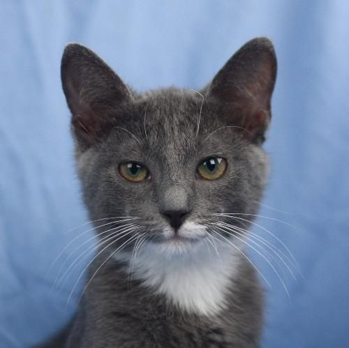 Riley Is An Adoptable Russian Blue Cat In Cookeville Tn Riley Is Absolutely Adorable She Is Mostly Solid Gr Kittens Cutest Russian Blue Cat Cats And Kittens