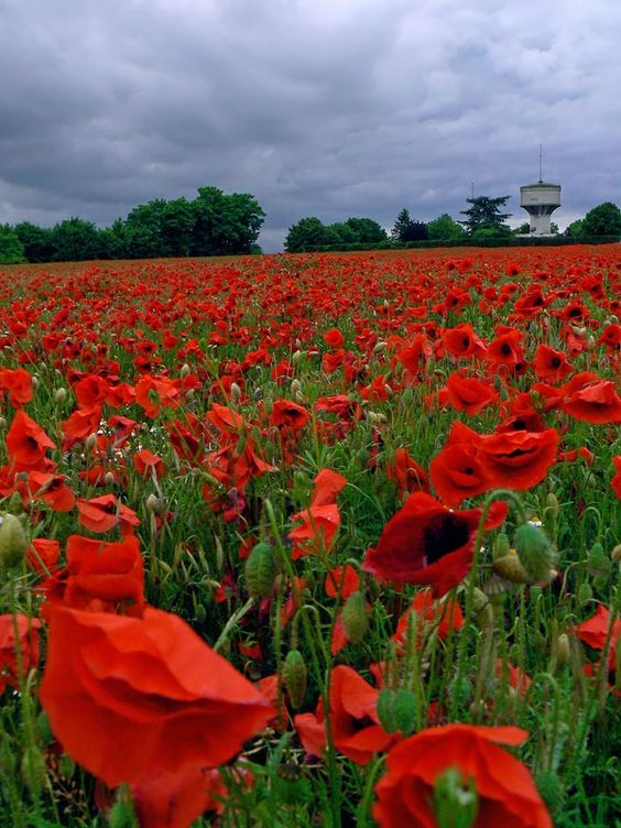 thousands poppies by jonathan_hart....  France
