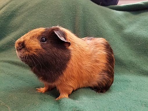 Pin On Guinea Pigs Are Adorable