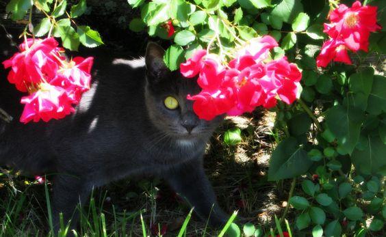 Thelma Lou, peeking out of the rose bush.