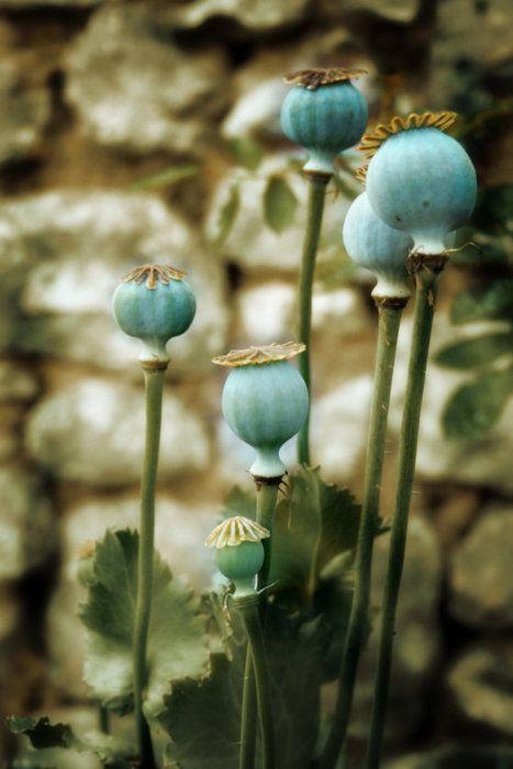 poppy seeds: