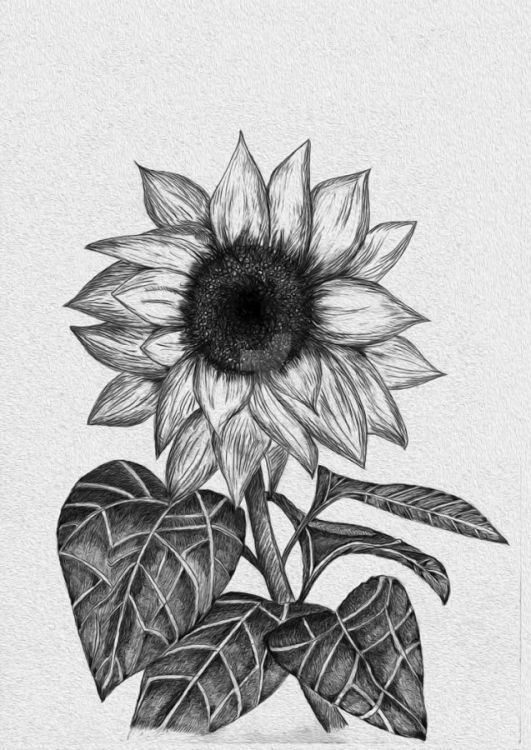 39 Gambar Sketsa Bunga Indah Sakura Mawar Melati Matahari Anggrek Teratai Di 2021 Lukisan Bunga Matahari Sketsa Sketsa Bunga