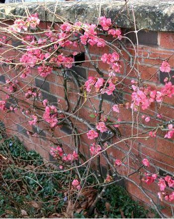 Chaenomeles x superba Pink Lady - Cognassier du Japon - Pépinière, plantes, jardinerie, vente en ligne
