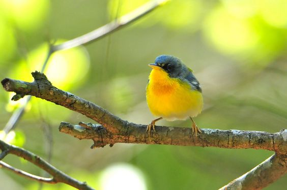 Southern visitor -Tropical Parula - male TX