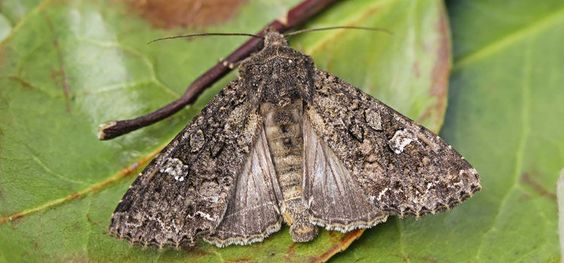 Cabbage moth Guide