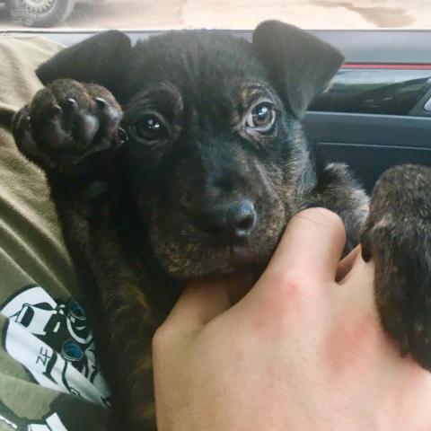 Rottweiler Dog For Adoption In Austin Tx Adn 824615 On