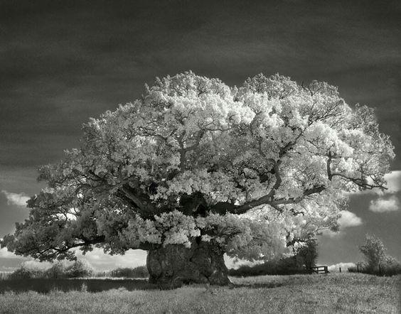Colección de fotografías de Árboles antiguos en blanco y negro