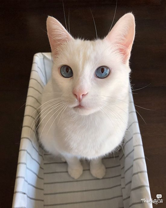 Chatty Cats Winning Awesome And More White Cats Cats Cat With Blue Eyes