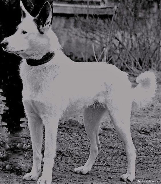 Myydaan Annetaan Koira Hanki Annetaan Koira Edullisesti Nettimarkkina Comin Valikoimista Dogs Animals Husky