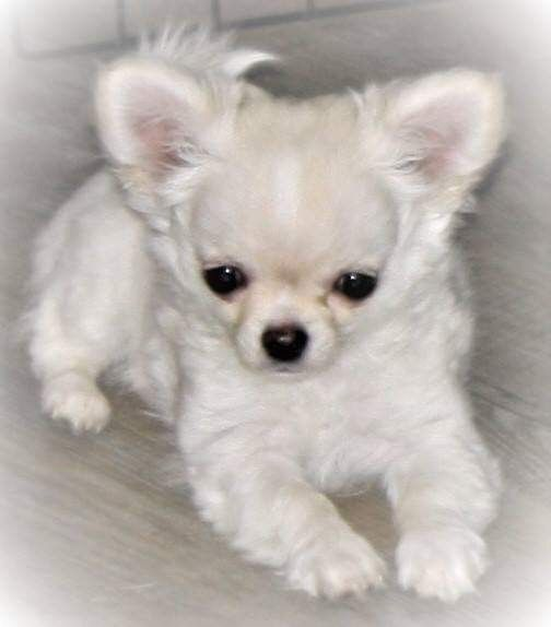 Sweet Show Potential Epiphany S Electric Ryder Chihuahua