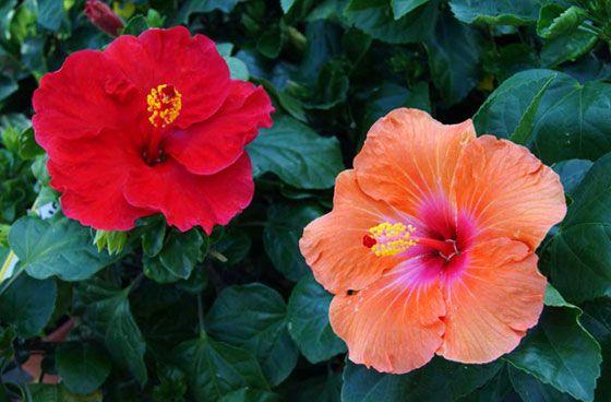 Hibiscus rosa sinensis flores y plantas pinterest for Hibiscus arbol